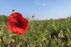 Poppies-